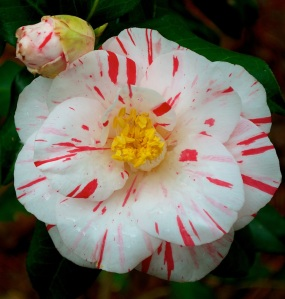 A camellia seedling that came up by chance blooms in January to brighten the winter days