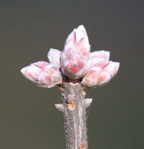 Camella's Blush azalea bears many beautiful pink winter buds, harbingers of the gorgeous pink, fragrant flowers to come in April.